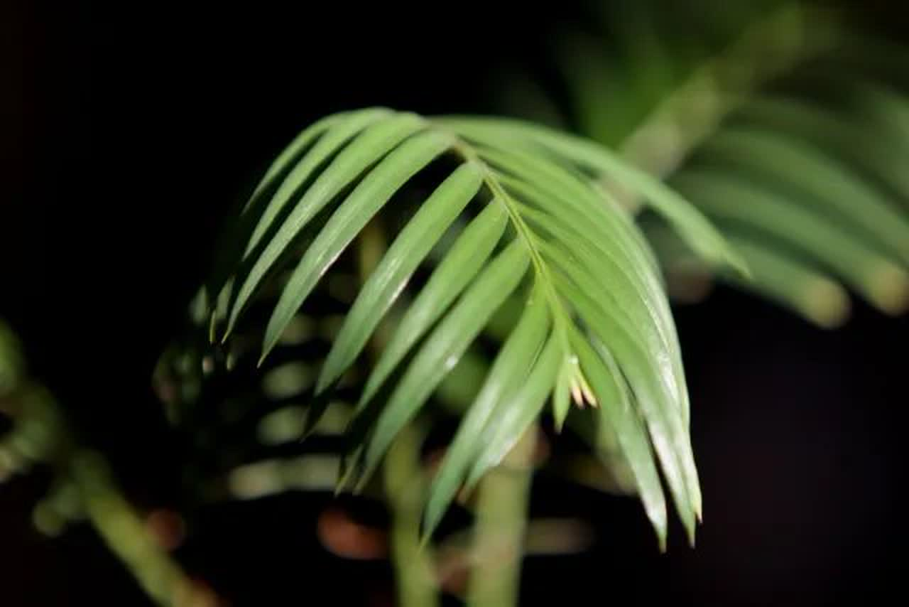 Sago palm leaf