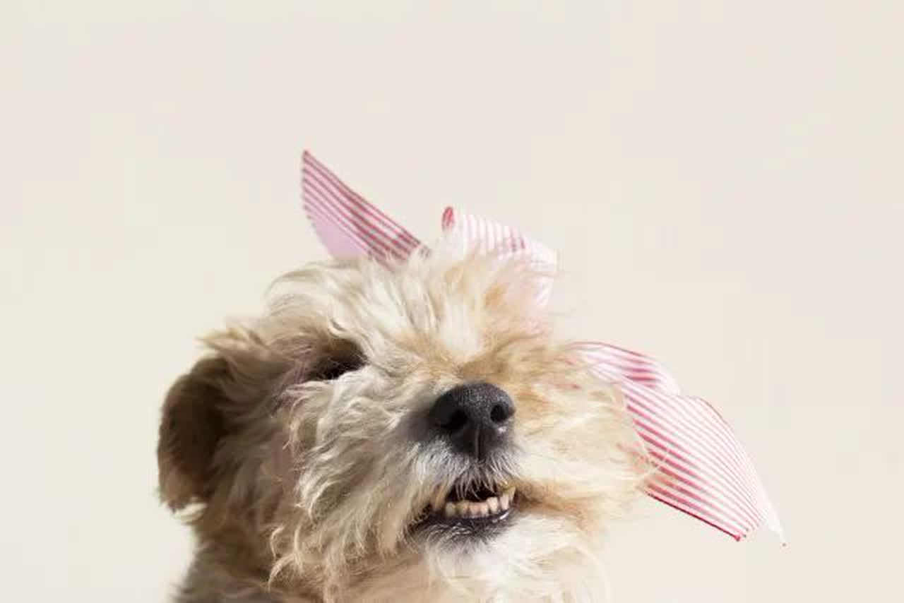 A dog wearing a pink bow.
