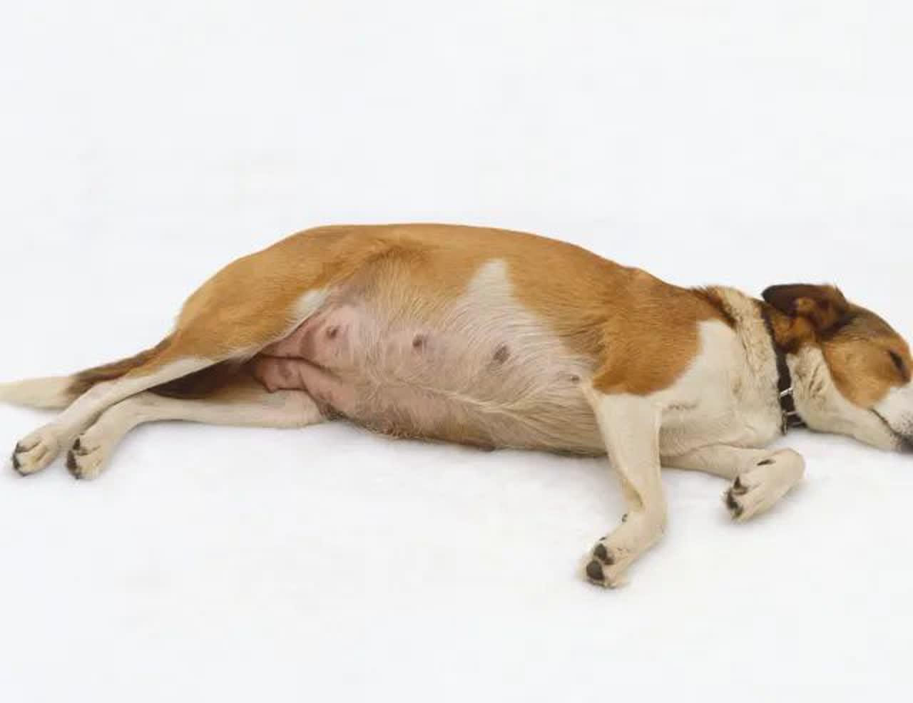 pregnant dog lying on side