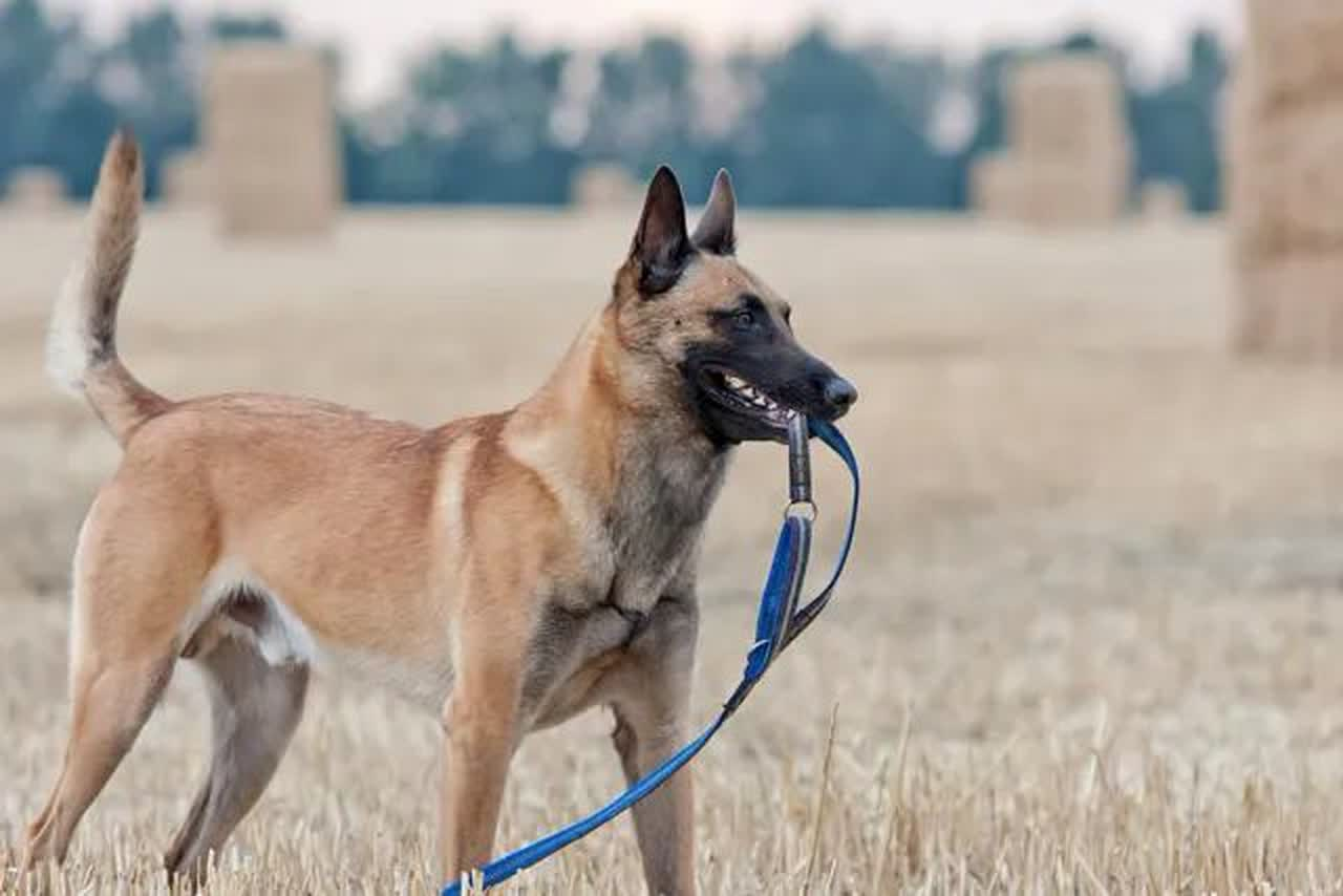 Belgian shepherd, keeping his leash at harvested field.