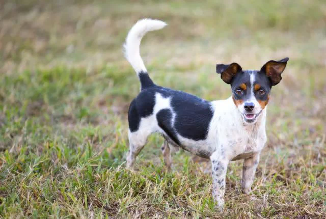 A rat terrier outdoors.