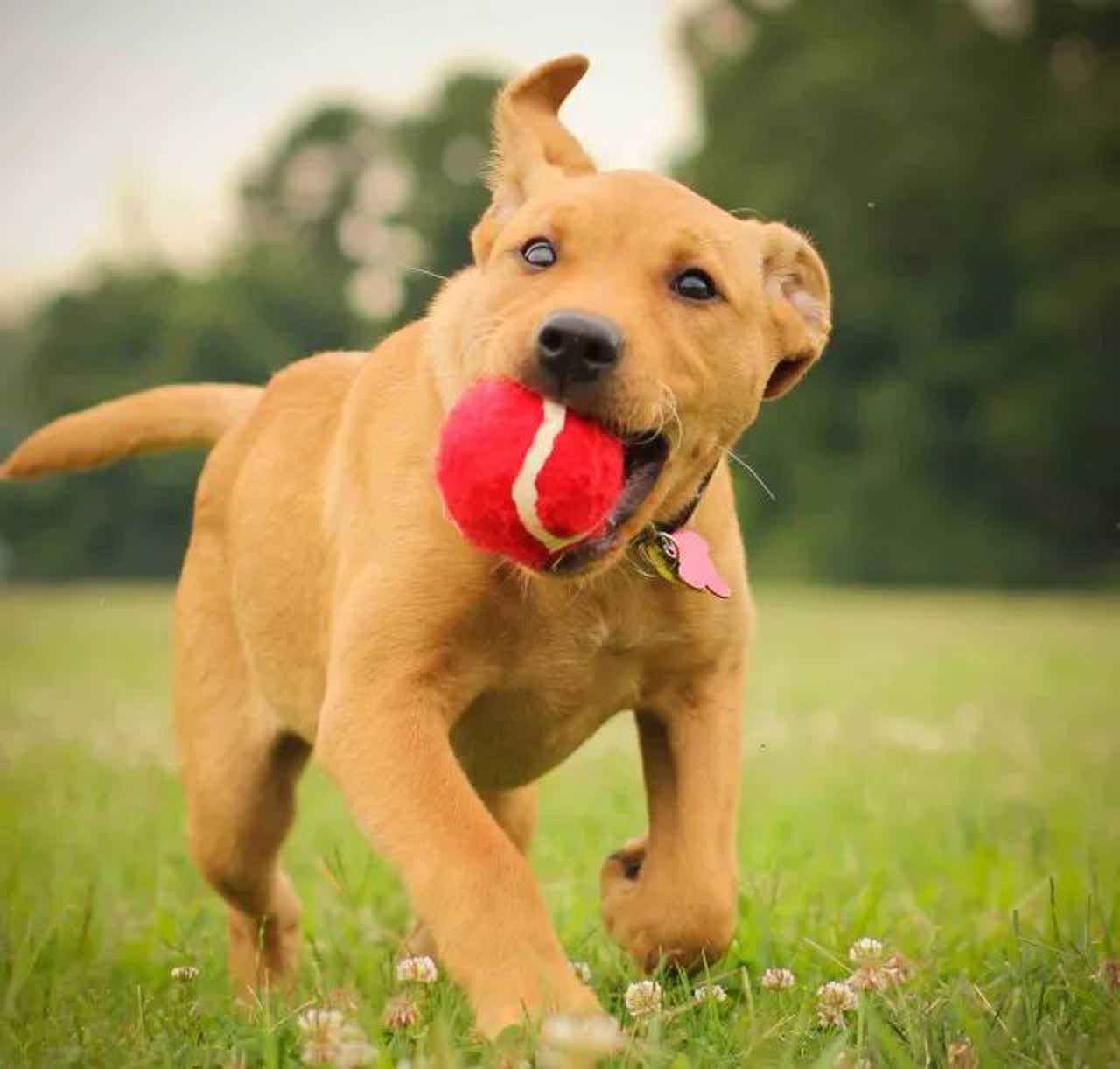 Labrabull puppy running with a red tennis ball in its mouth.