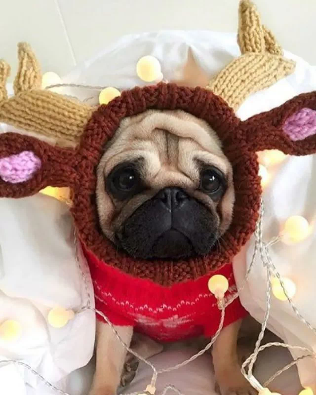 A pug wearing knitted antlers.