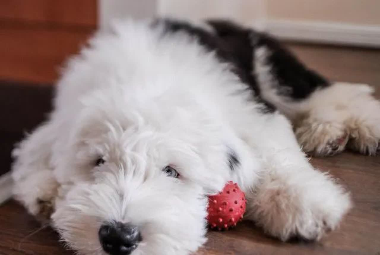An Old English Sheepdog holding his toy.