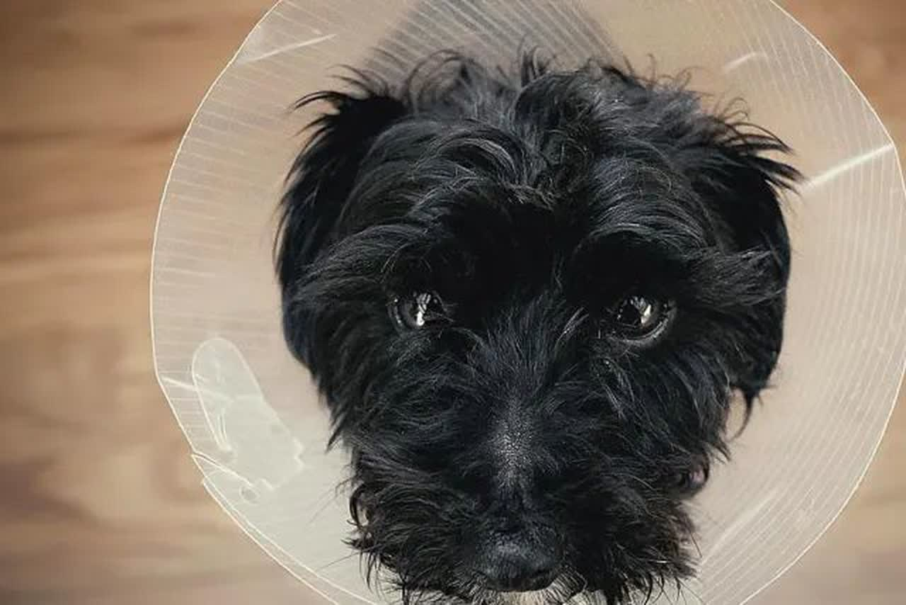 Cute dog with lamp shade on giving puppy dog eyes.