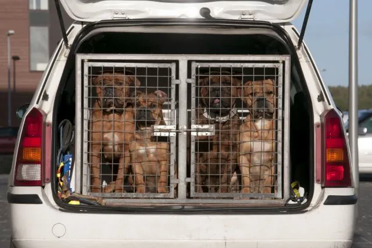 Dogs in the back of a vehicle in a cage.