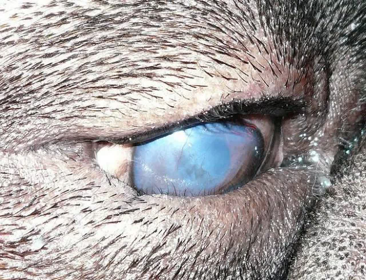 A dog with entropion of the lower eyelid