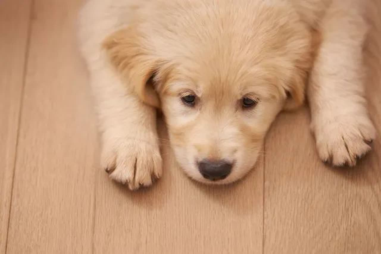 Sad puppy lying on hardwood floor