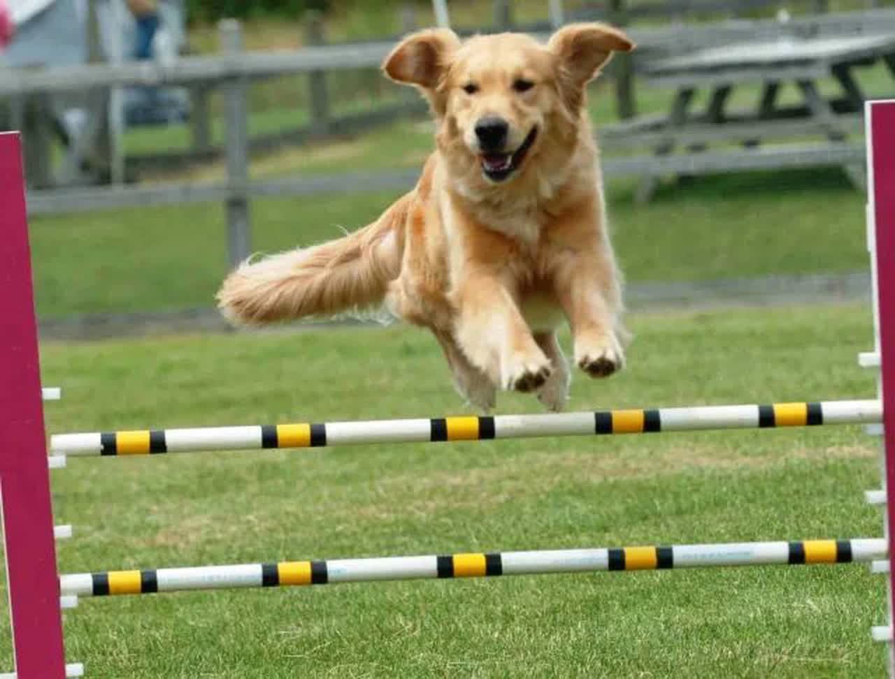 Golden Retriever Doing Agility