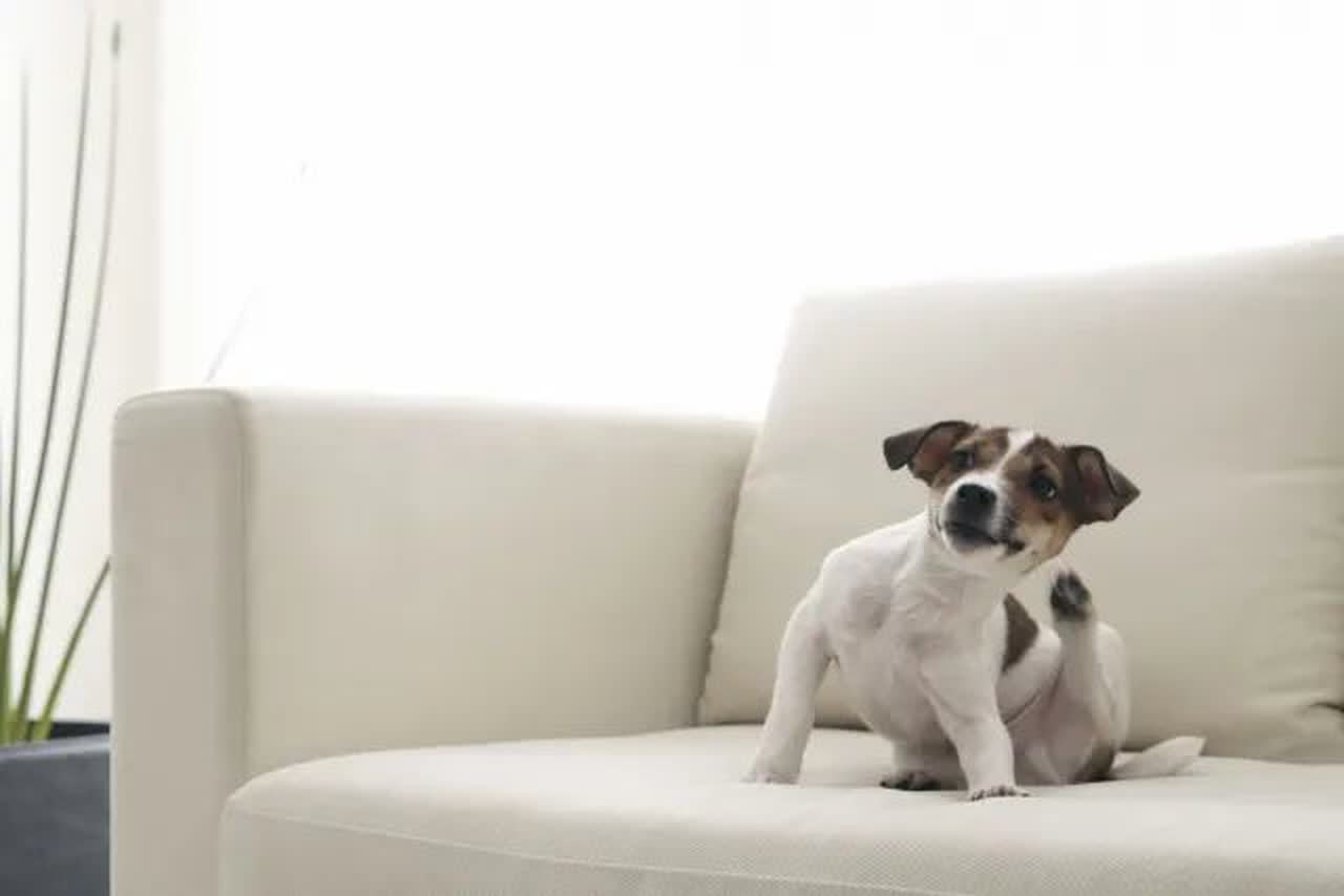 Jack Russell Terrier scratching itself on sofa