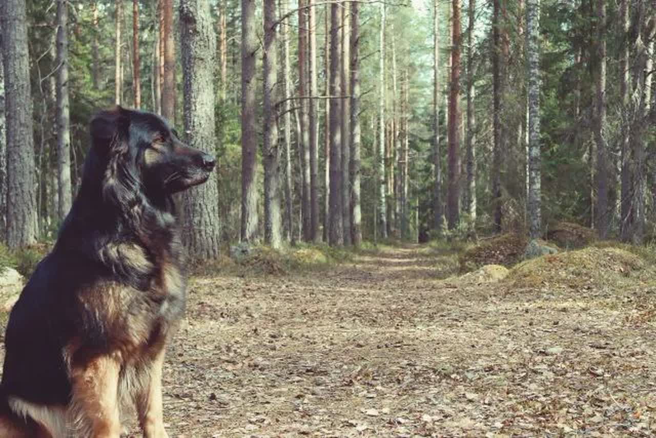 dog in forest, rabies and dogs