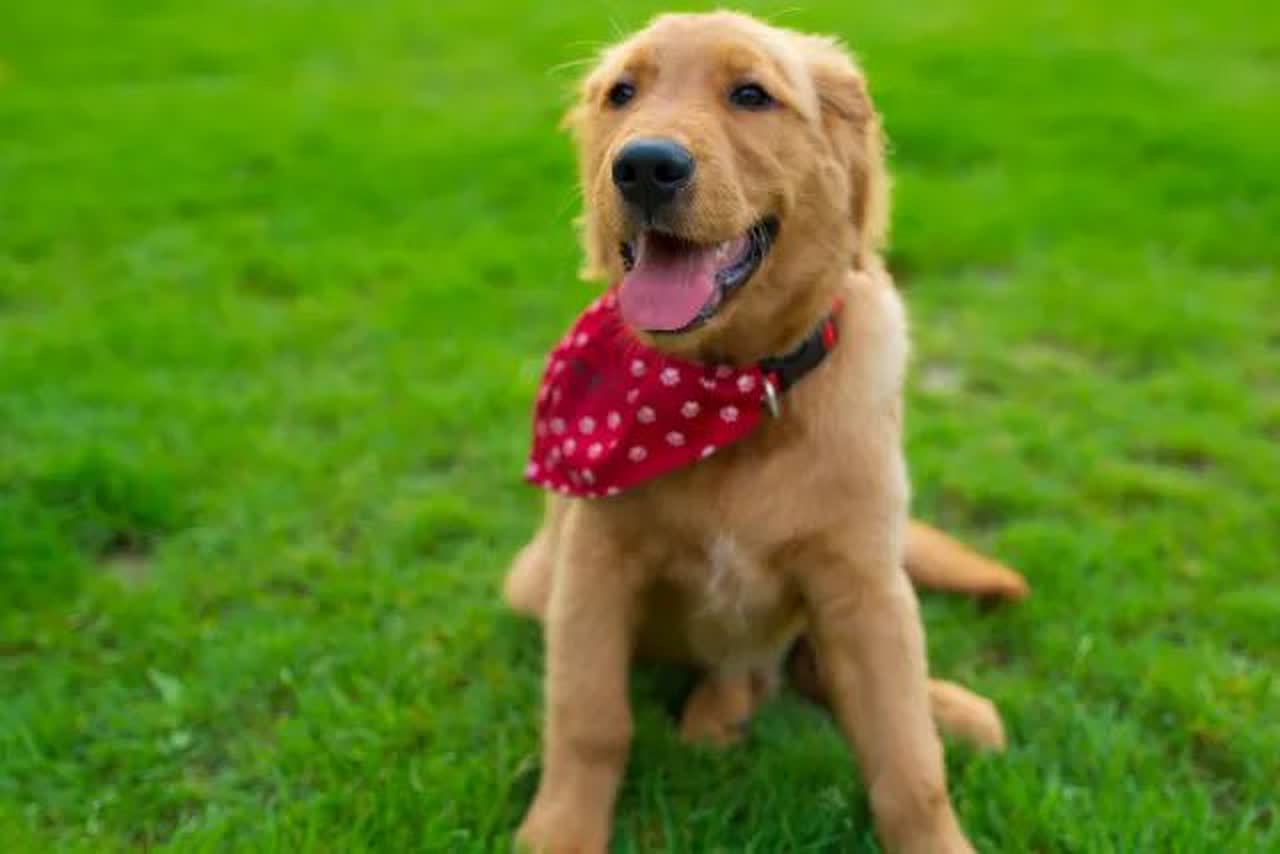 puppy with a red bandana on a grassy field