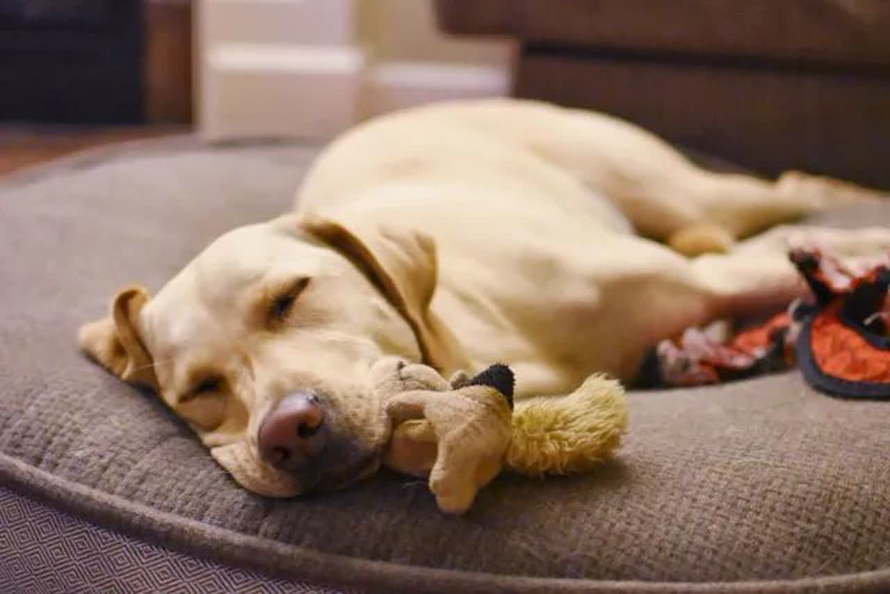 dog fell asleep with toy squirrel in its mouth