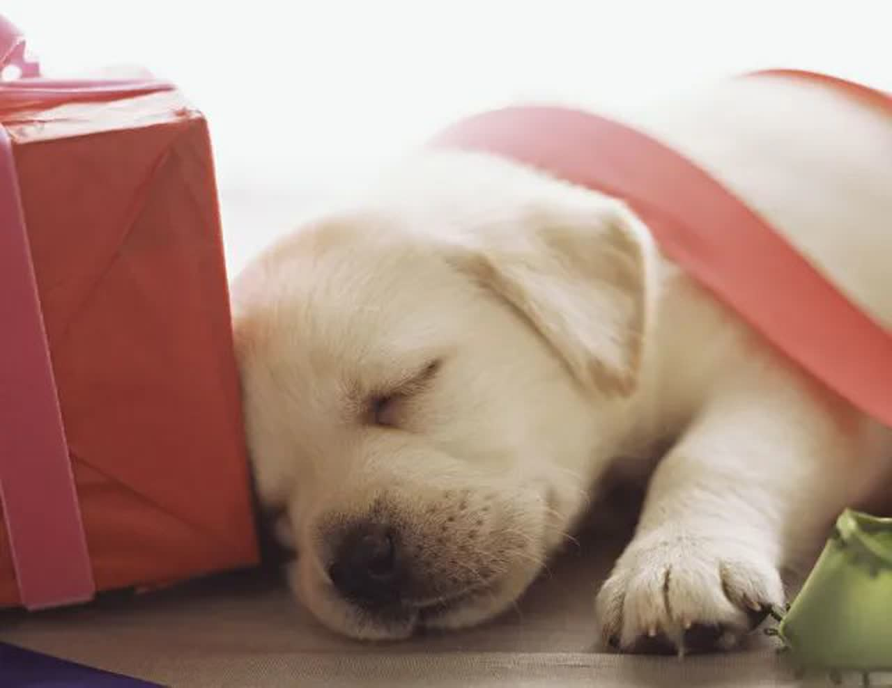 Sleeping puppy with ribbons and present