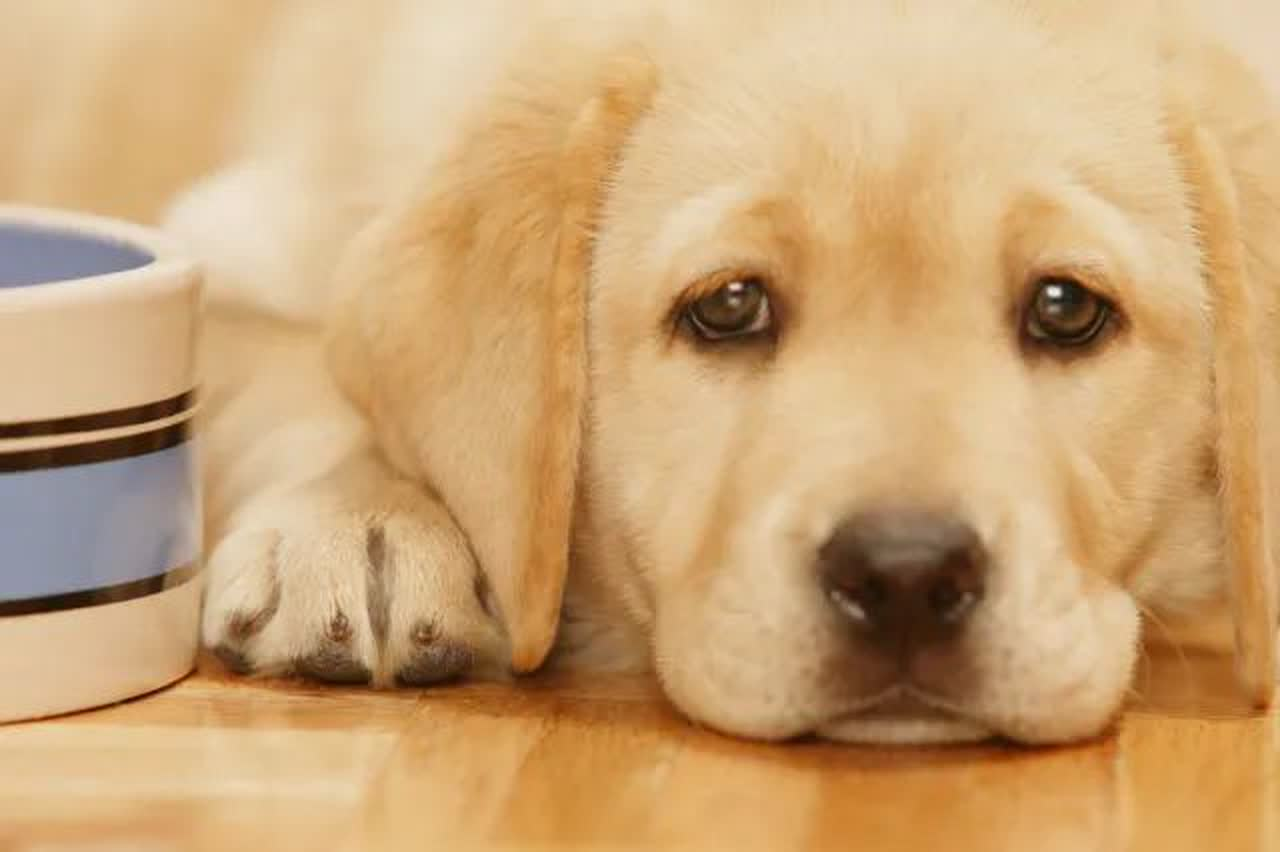 golden retriever puppy laying by food bowl