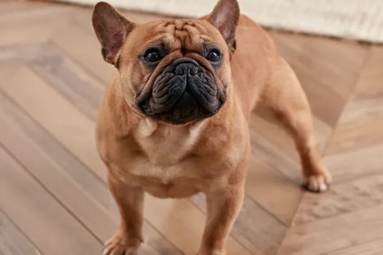 a French Bulldog in a confident stance