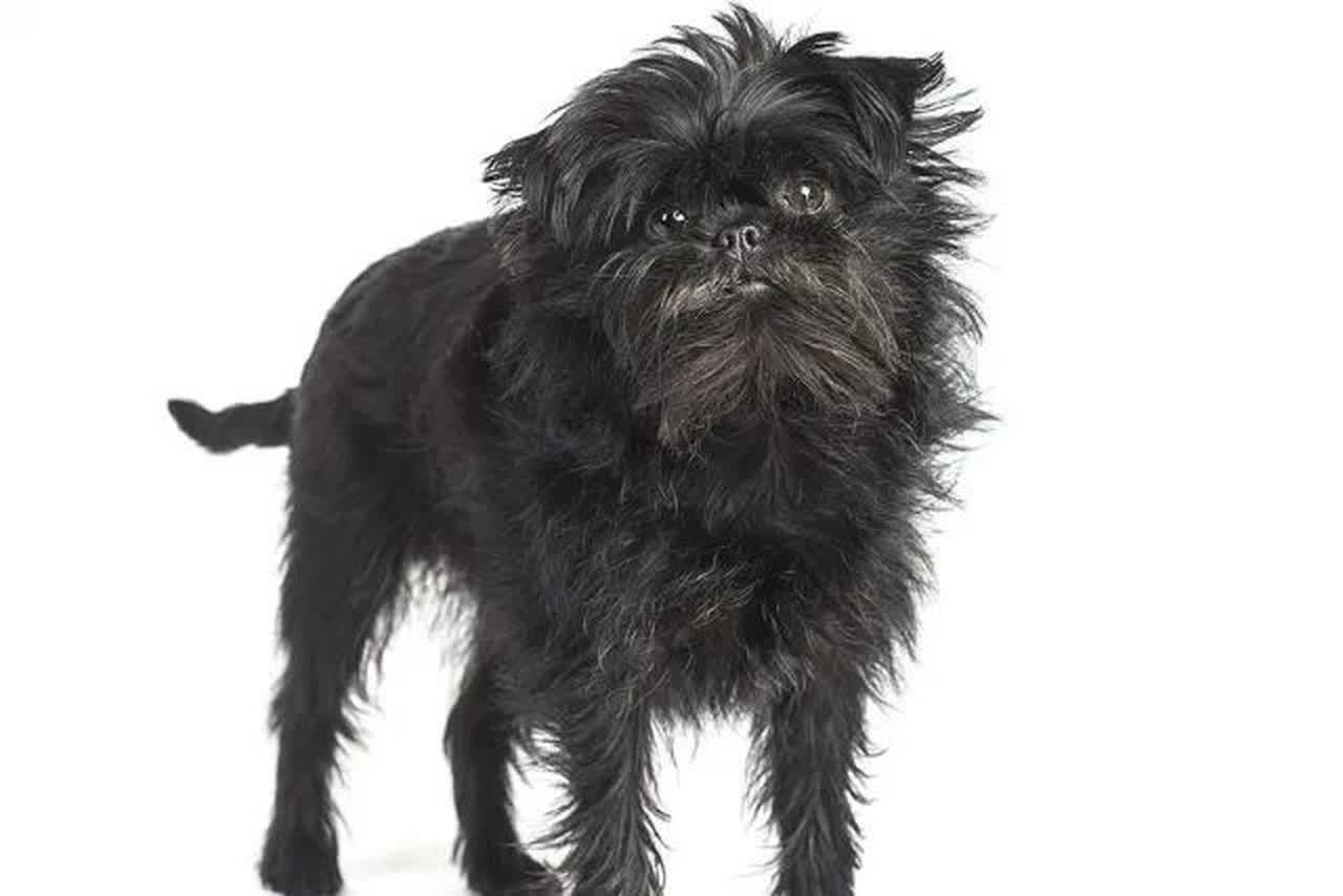Studio shot of an Affenpinscher.