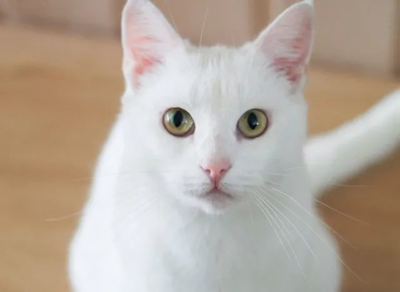 white cat with yellow-green eyes