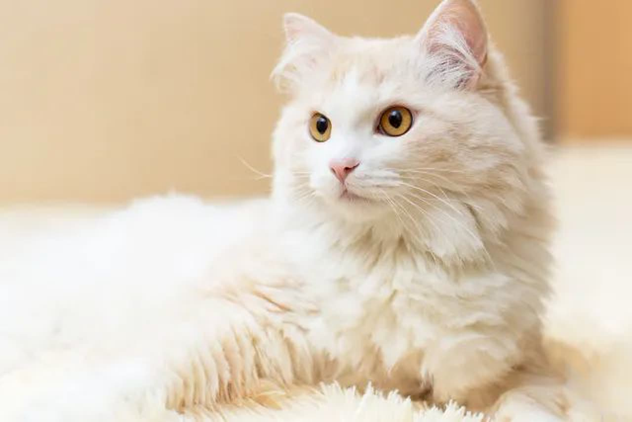 A Turkish Angora cat sitting on a blanket