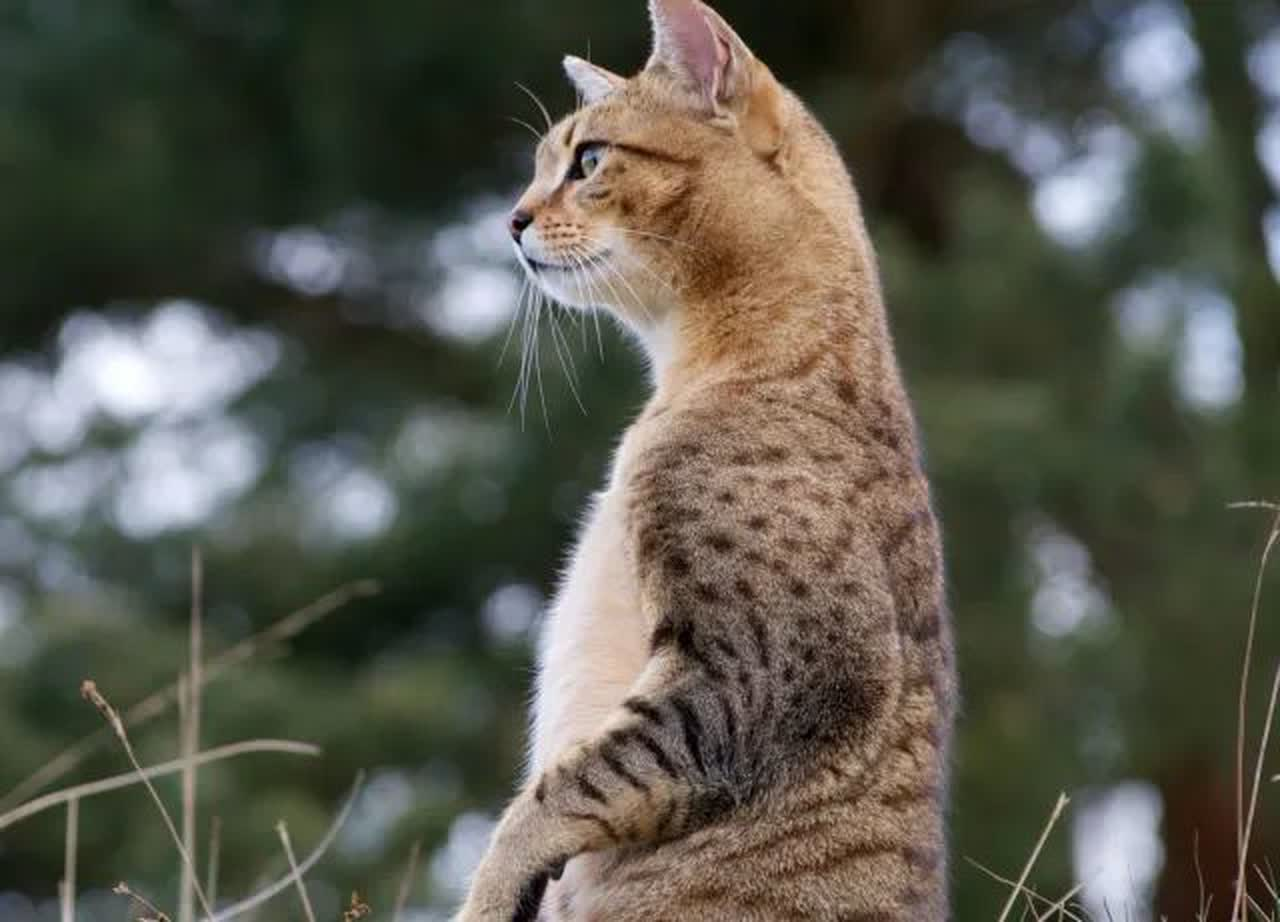 Egyptian mau cat outdoors sitting up on hind legs