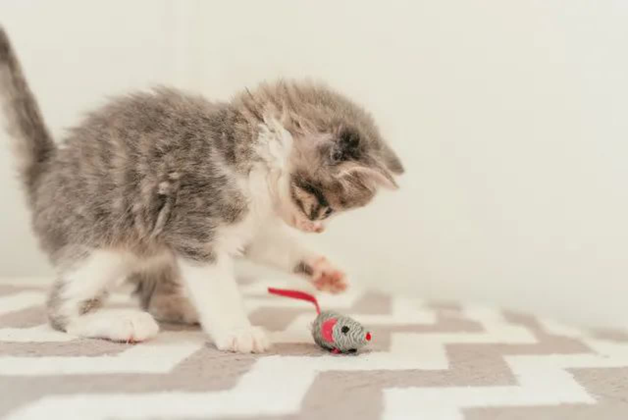 Kitten playing with small mouse toy