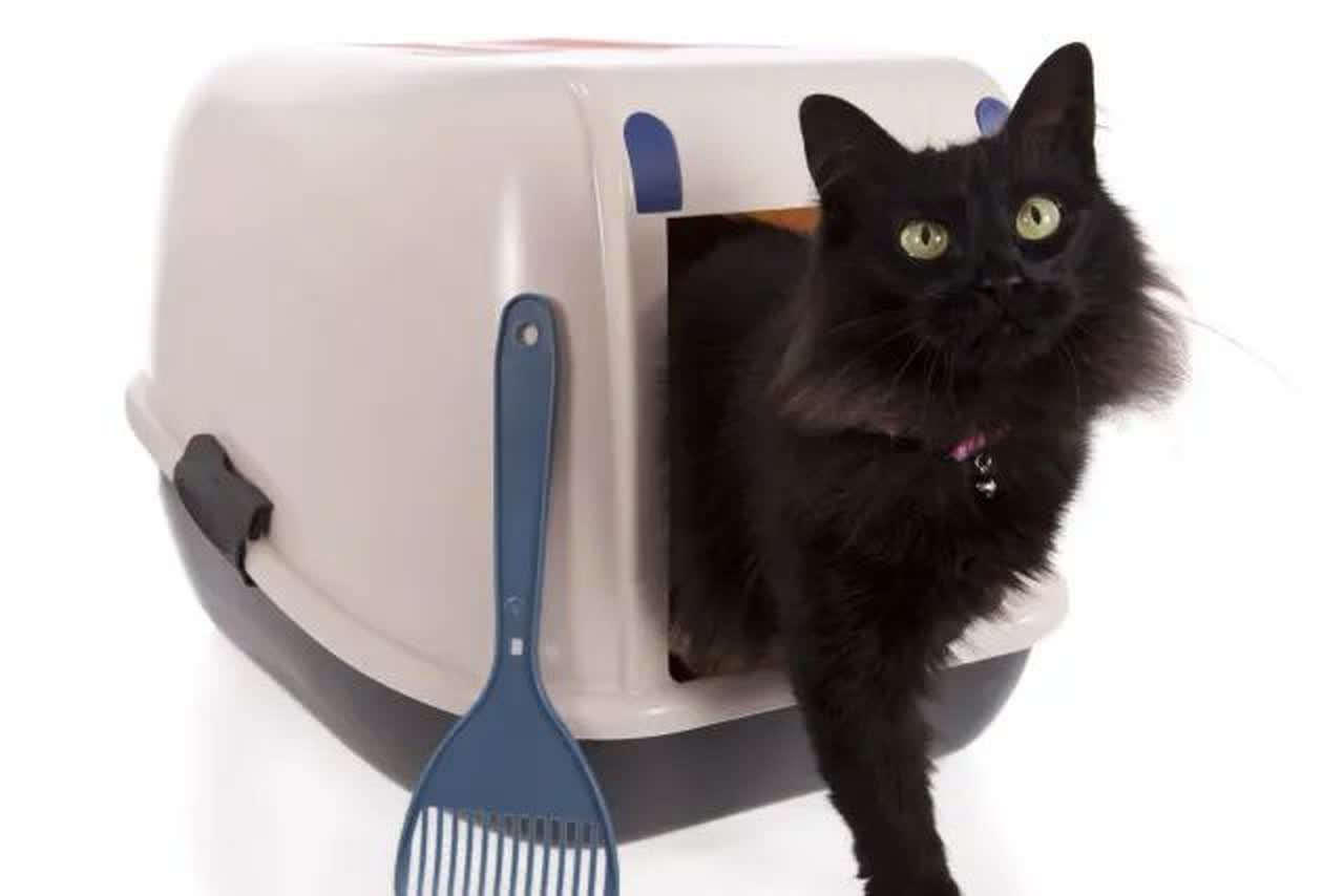 Longhaired black cat stepping out of a covered litterbox