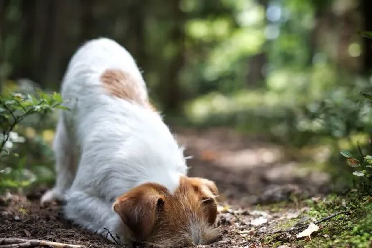 Close-Up Of A Dog While Burrowing In A Forest