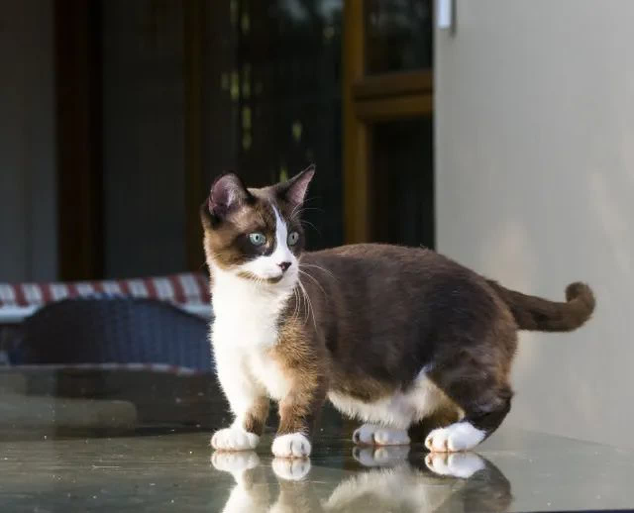 Á… Munchkin Cat Breed Information And Care