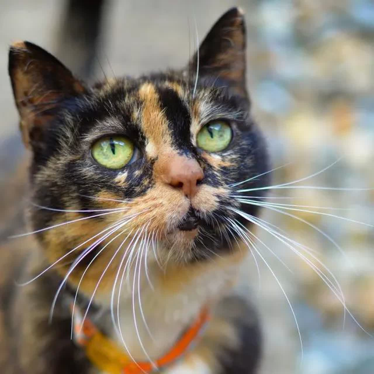 A tortoiseshell cat looking into the camera.