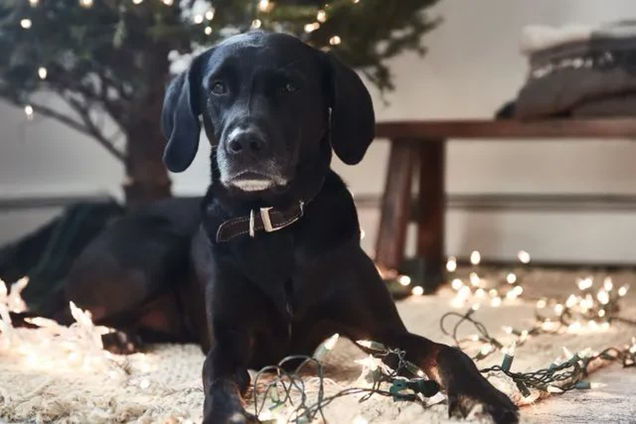 Dog sitting next to Christmas tree and string lights