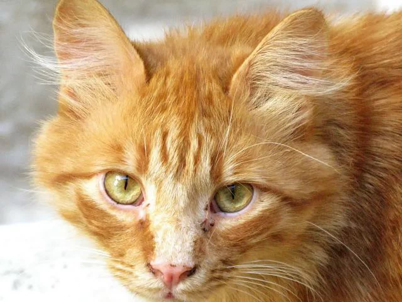 An aging orange tabby with black spots on its face.