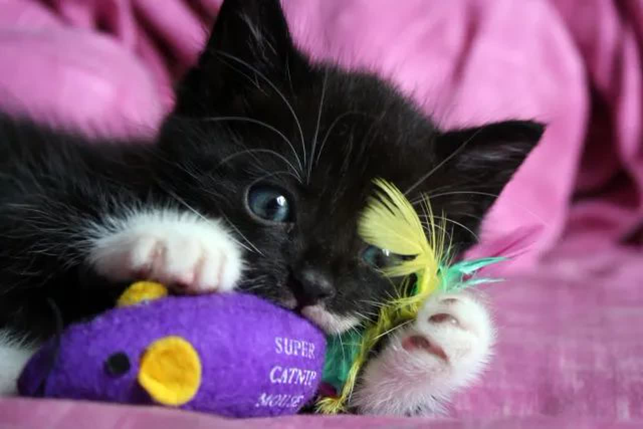 Kitten with catnip toy
