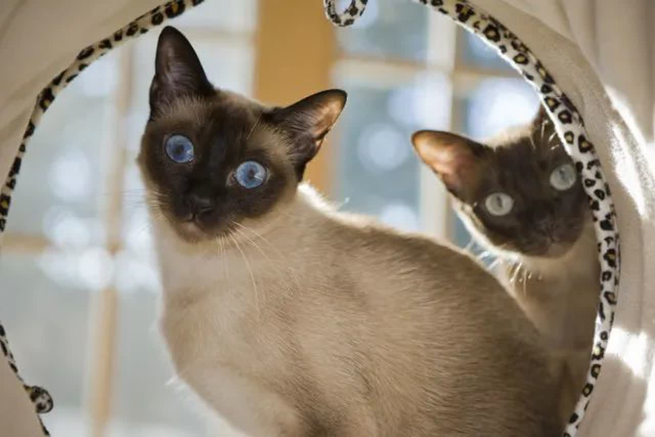 Á… Tonkinese Cat Information And Care