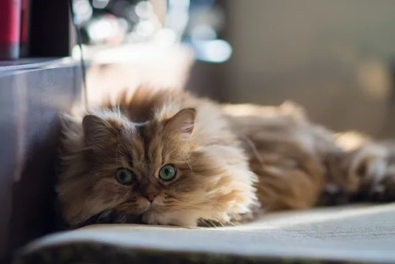 Brown persian cat relaxing on carpet