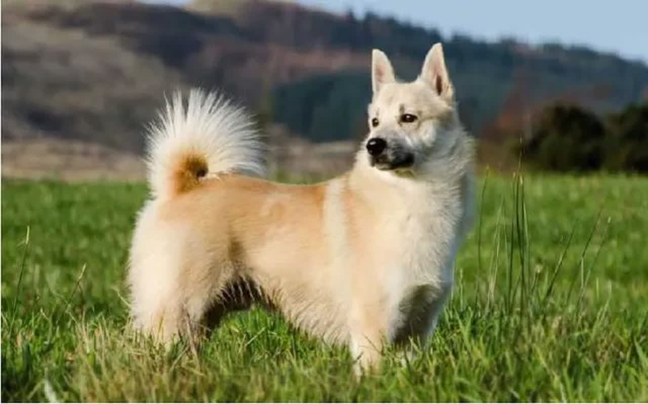 ᐅ Norwegian Buhund Dog Breed Information And Care