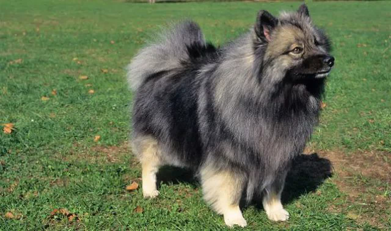 ᐅ Keeshond Information And Care