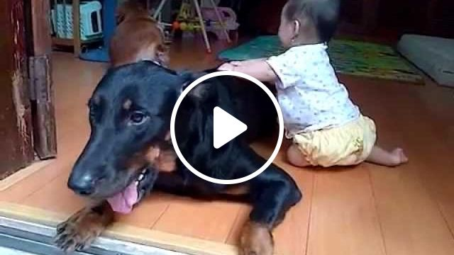 Beauceron: Dog Breed information and care