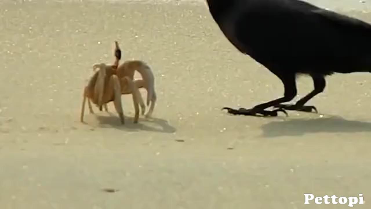 Crab vs Two Birds