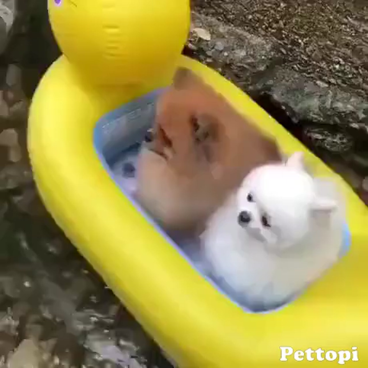 Two cute dogs on a duck's float