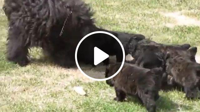 Bouvier des Flandres: Dog Breed information and care