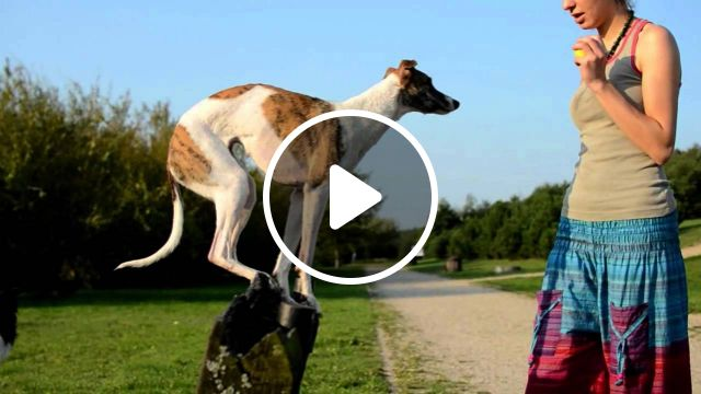 Whippet: Dog Breed information and care