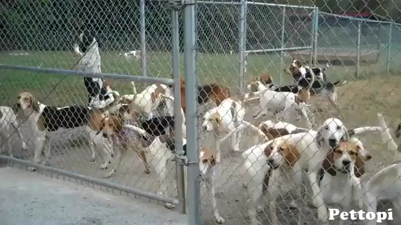 American Foxhound information and care