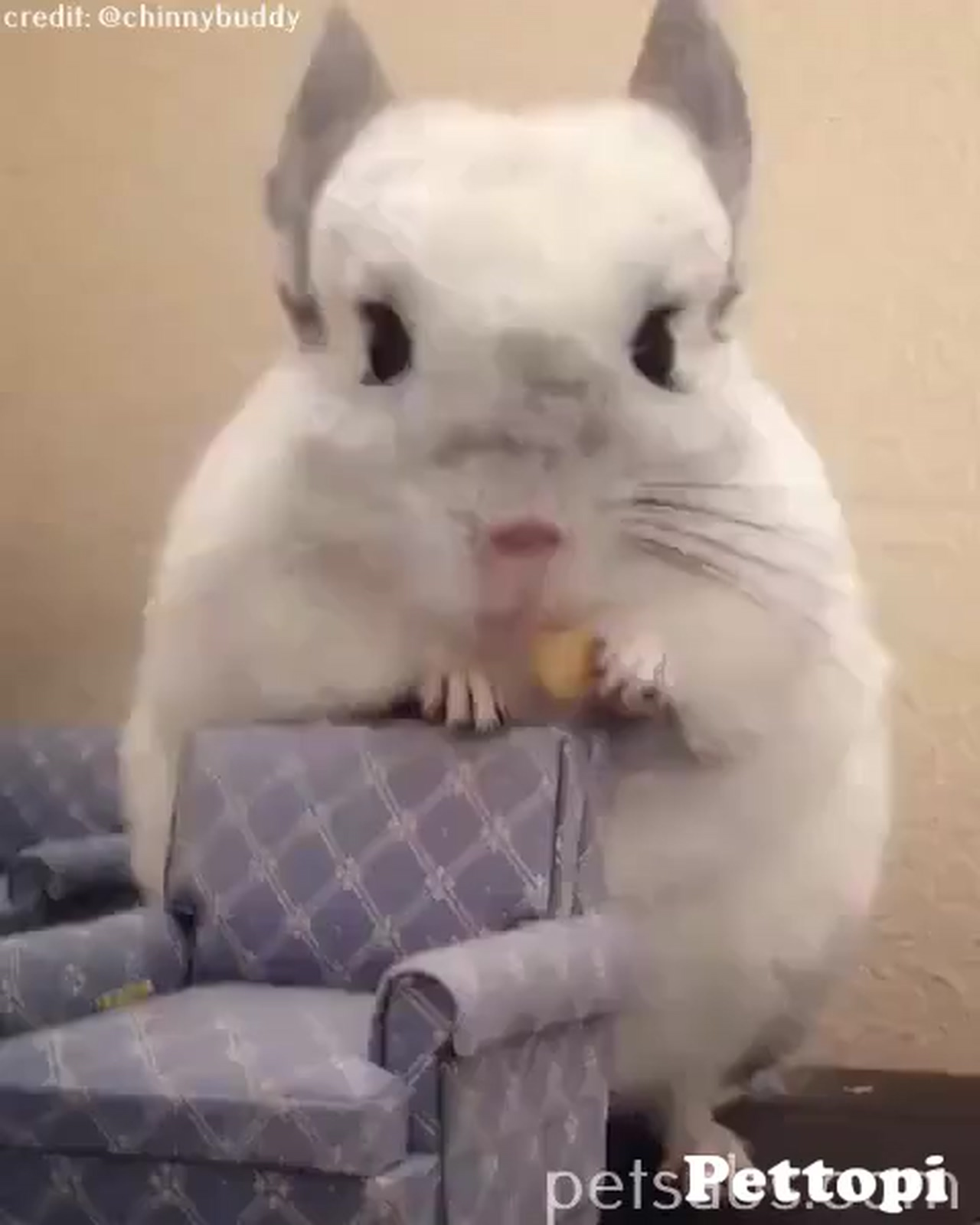 A cute chinchilla eating snacksWhen you're so busy eating and forgot to sit