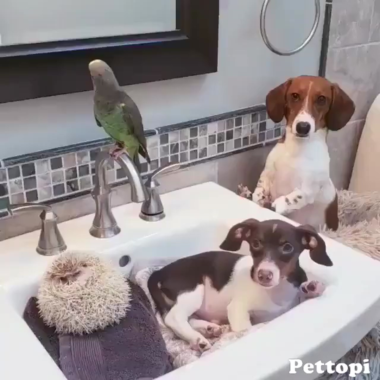Dachshunds, parrot and Hedgehog