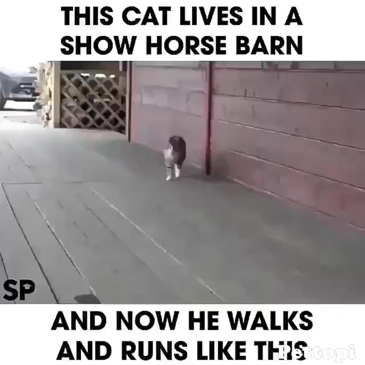 Cat walks like a dressage horse